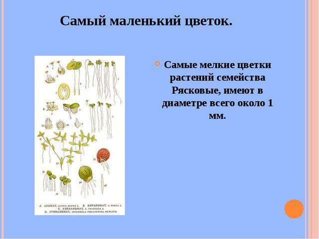 Самый маленький цветок. Самые мелкие цветки растений семейства Рясковые, имею...