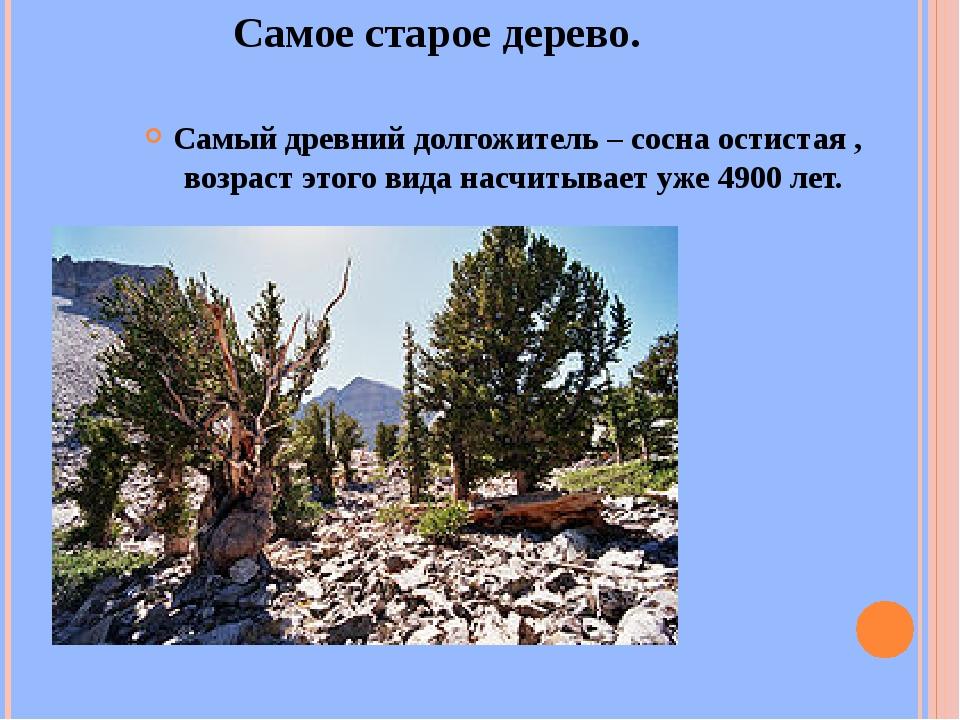 Самое старое дерево. Самый древний долгожитель – сосна остистая , возраст это...