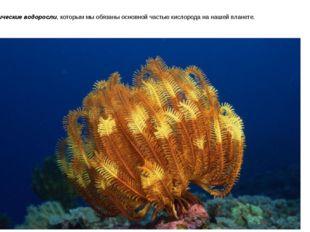 Океанические водоросли, которым мы обязаны основной частью кислорода на нашей