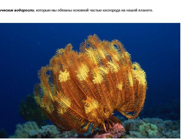 Океанические водоросли, которым мы обязаны основной частью кислорода на нашей...