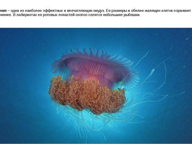 Корнерот– одна из наиболее эффектных и впечатляющих медуз. Ее размеры и обил...