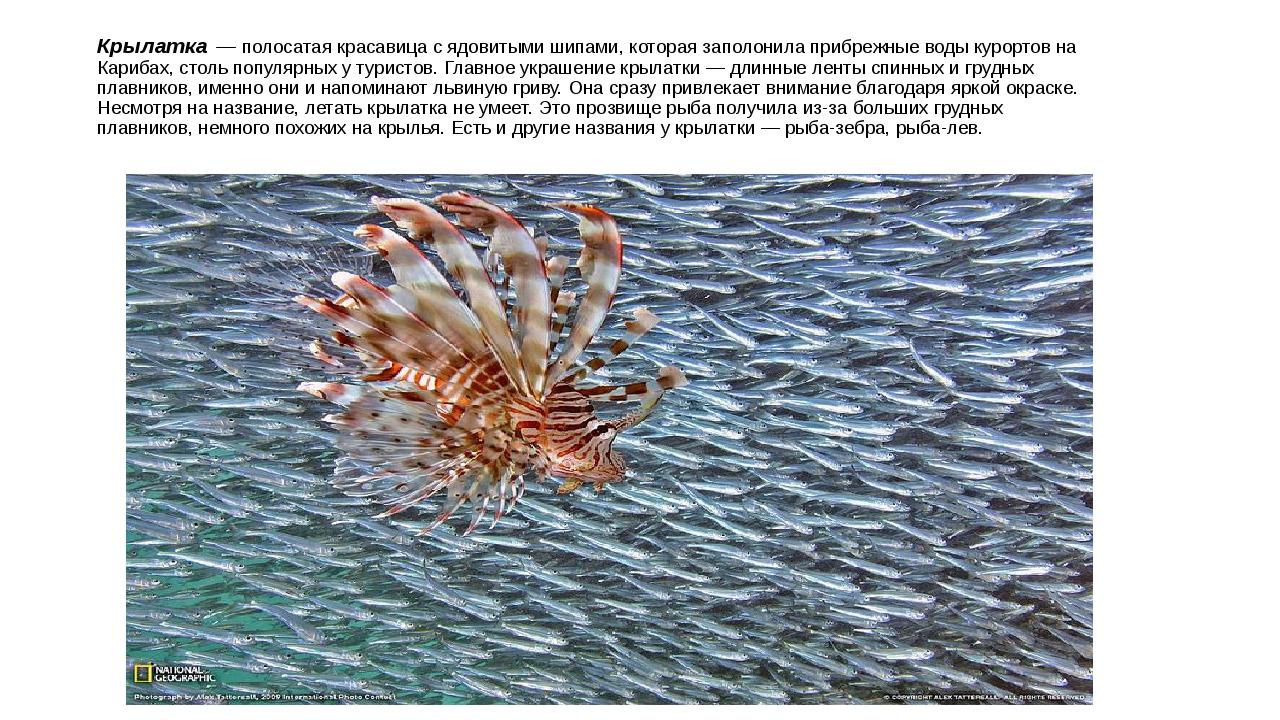 Крылатка — полосатая красавица с ядовитыми шипами, которая заполонила прибреж...