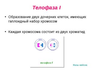 Телофаза I Образование двух дочерних клеток, имеющих гаплоидный набор хромосо