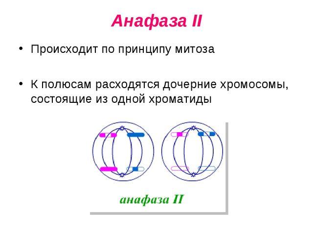 Анафаза II Происходит по принципу митоза К полюсам расходятся дочерние хромос...