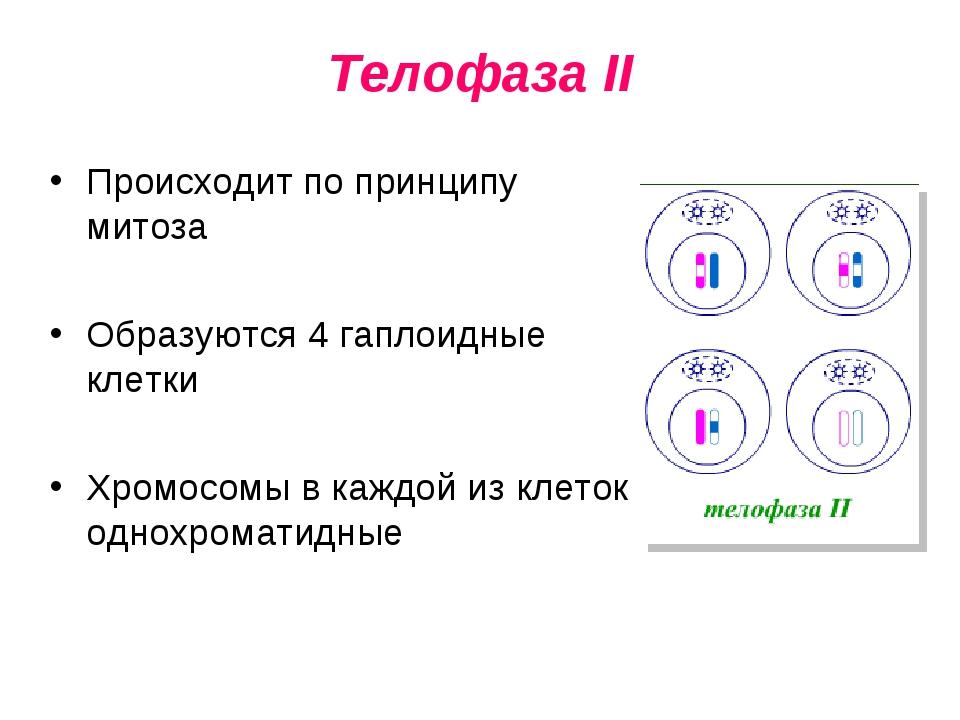 Телофаза II Происходит по принципу митоза Образуются 4 гаплоидные клетки Хром...
