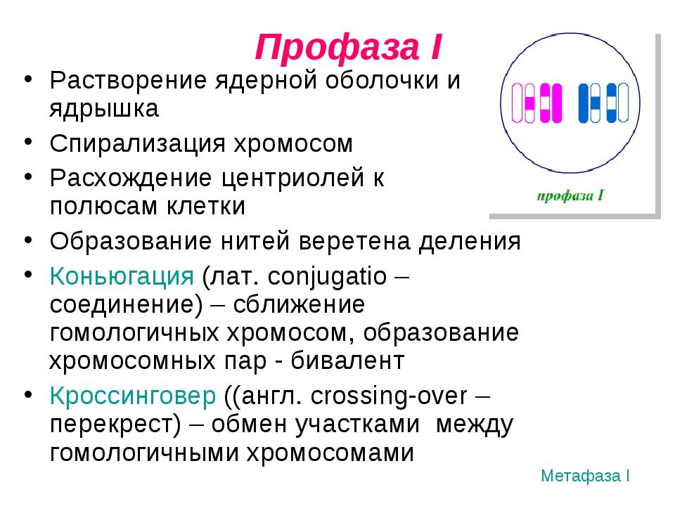 Профаза I Растворение ядерной оболочки и ядрышка Спирализация хромосом Расхо...