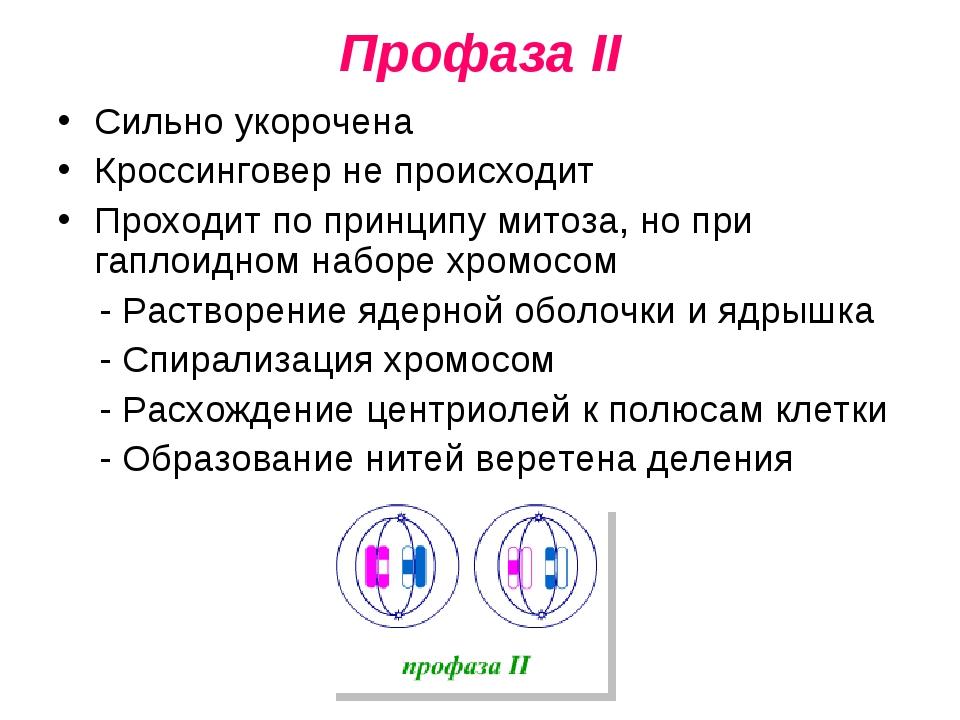 Профаза II Сильно укорочена Кроссинговер не происходит Проходит по принципу м...