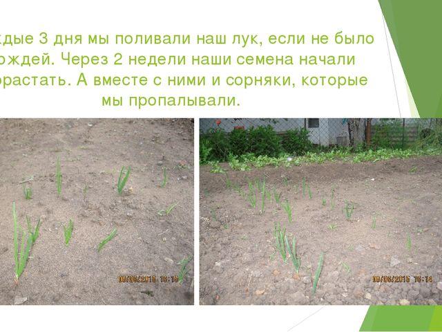 Каждые 3 дня мы поливали наш лук, если не было дождей. Через 2 недели наши се...