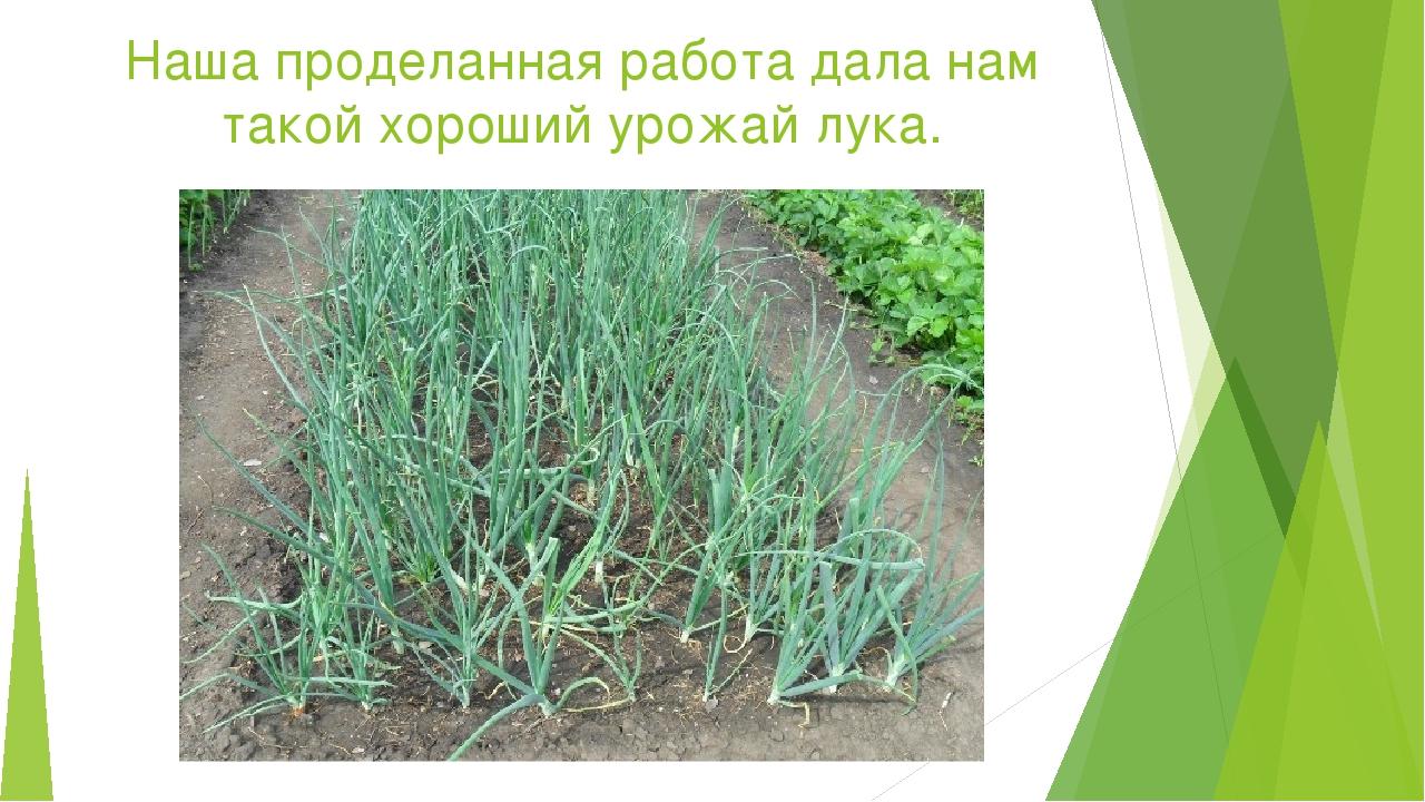 Наша проделанная работа дала нам такой хороший урожай лука.
