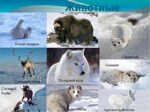 Животные Белый медведь Горностай Северный олень Песец Лемминг Овцебык Снежны