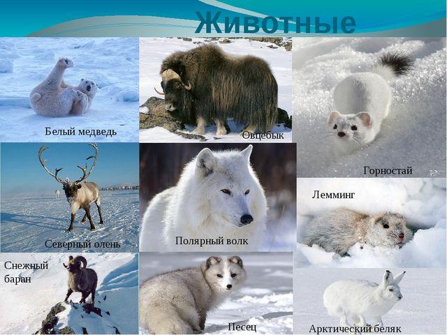 Животные Белый медведь Горностай Северный олень Песец Лемминг Овцебык Снежны...