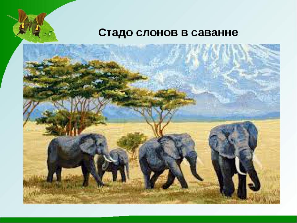 Стадо слонов в саванне