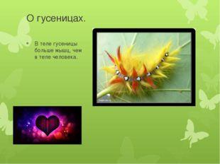 О гусеницах. В теле гусеницы больше мышц, чем в теле человека.
