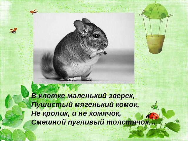 В клетке маленький зверек, Пушистый мягенький комок, Не кролик, и не хомячок,...