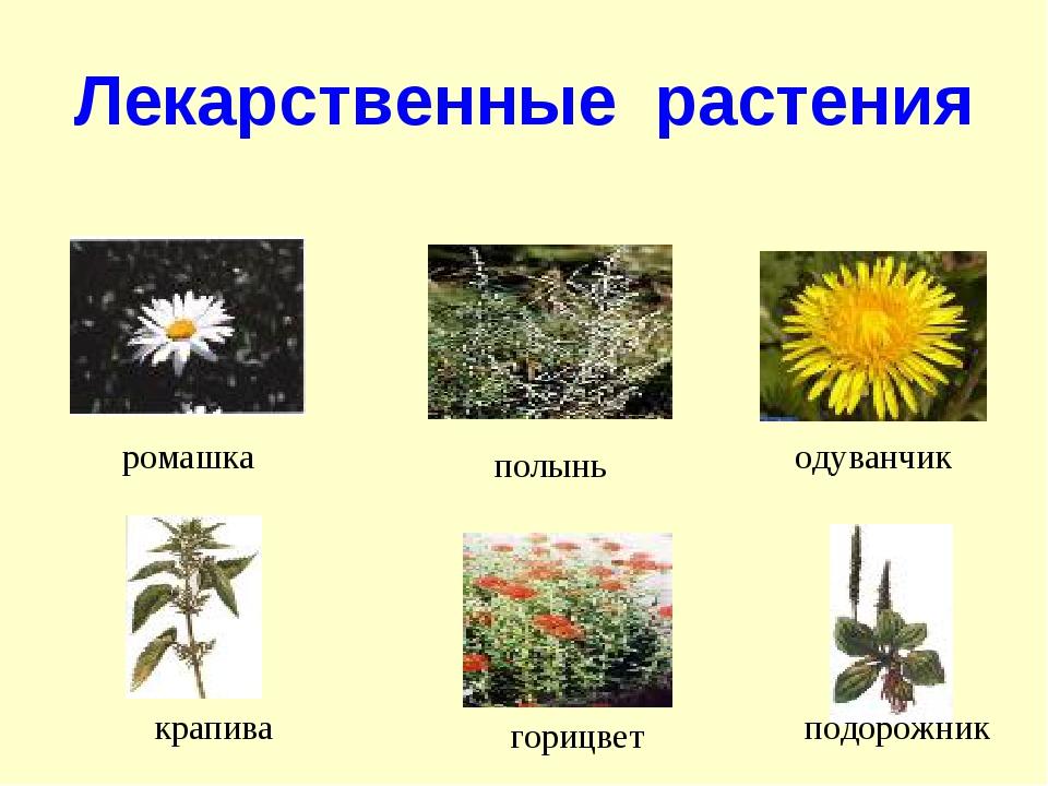 Лекарственные растения ромашка полынь одуванчик крапива горицвет подорожник