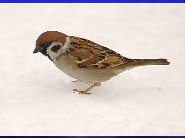 Чаще всего возле домов встречаются воробьи. Наиболее активны птицы в ясную бе...
