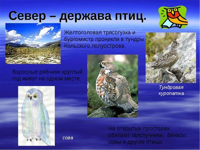 Север – держава птиц. Желтоголовая трясогузка и бургомистр проникли в тундры...
