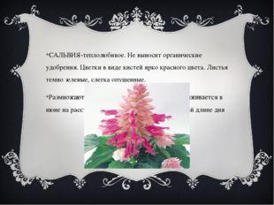 САЛЬВИЯ-теплолюбивое. Не выносит органические удобрения. Цветки в виде кисте