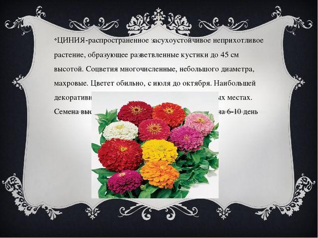ЦИНИЯ-распространенное засухоустойчивое неприхотливое растение, образующее р...