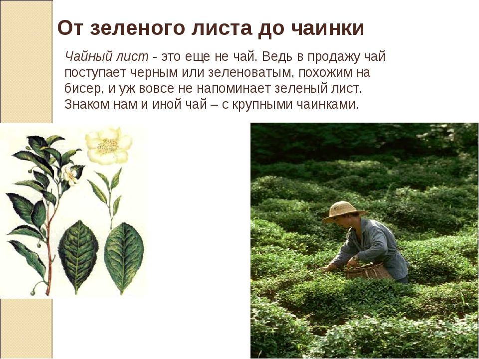 От зеленого листа до чаинки Чайный лист - это еще не чай. Ведь в продажу чай...