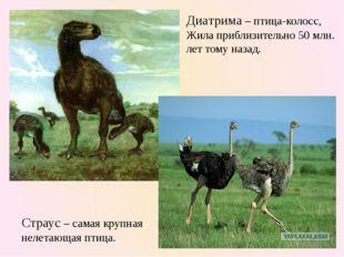 Диатрима – птица-колосс, Жила приблизительно 50 млн. лет тому назад. Страус –