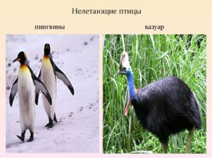 Нелетающие птицы пингвины казуар