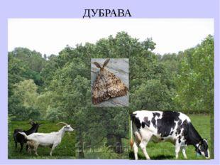 ДУБРАВА