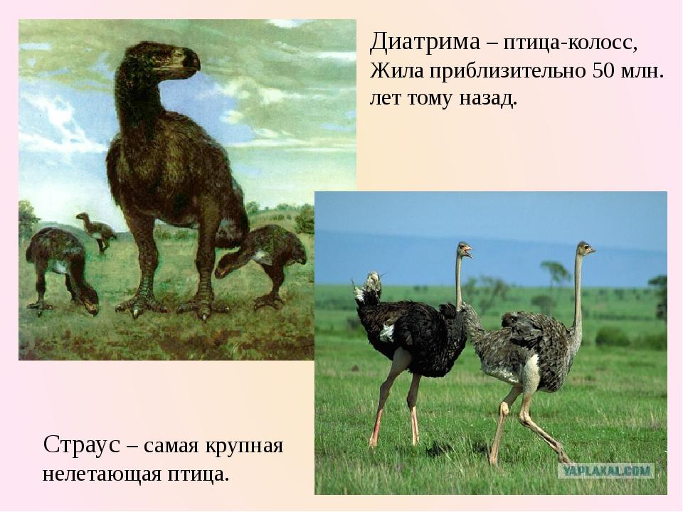 Диатрима – птица-колосс, Жила приблизительно 50 млн. лет тому назад. Страус –...