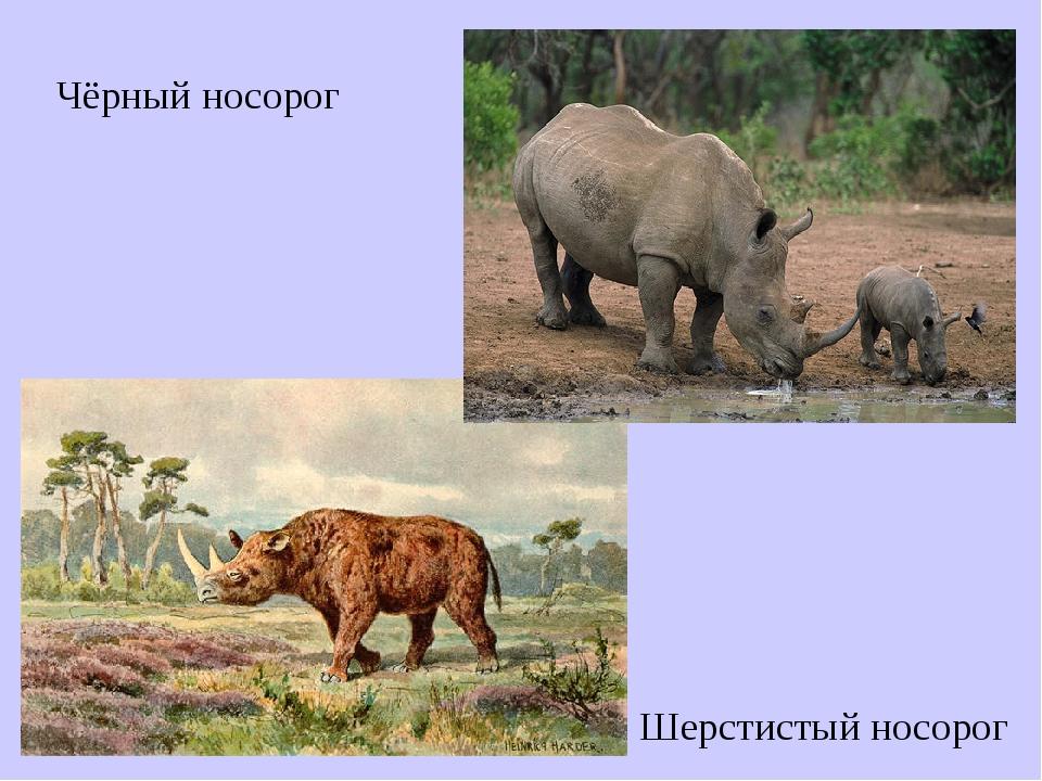 Чёрный носорог Шерстистый носорог
