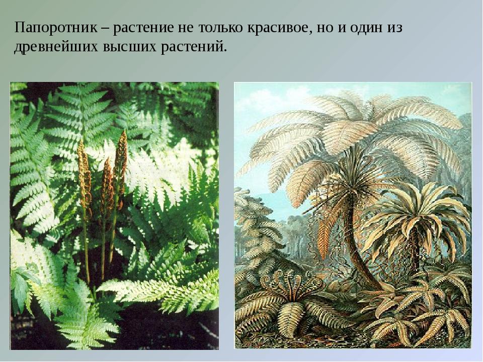 Папоротник – растение не только красивое, но и один из древнейших высших раст...