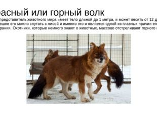 Красный или горный волк Этот представитель животного мира имеет тело длиной д