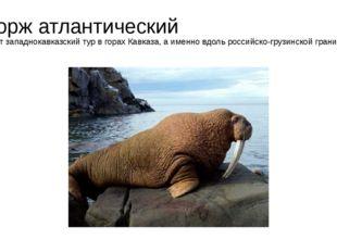 Морж атлантический Живет западнокавказский тур в горах Кавказа, а именно вдол