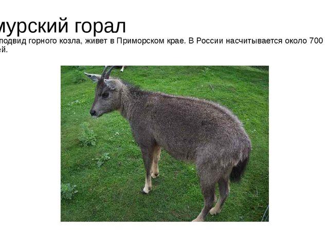Амурский горал Этот подвид горного козла, живет в Приморском крае. В России н...