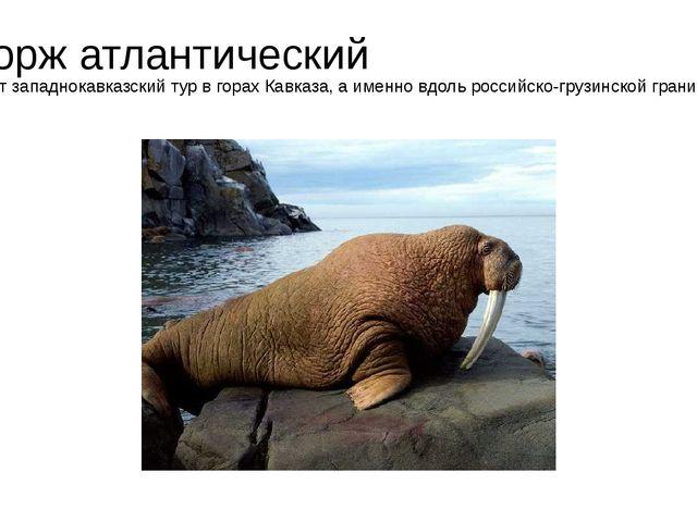 Морж атлантический Живет западнокавказский тур в горах Кавказа, а именно вдол...