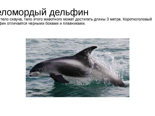 Беломордый дельфин Как и тело сивуча, тело этого животного может достигать дл...
