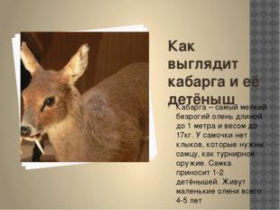 Как выглядит кабарга и её детёныш Кабарга – самый мелкий безрогий олень длино