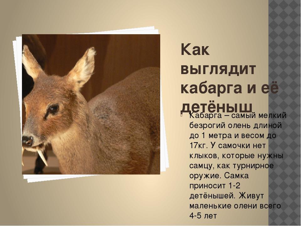 Как выглядит кабарга и её детёныш Кабарга – самый мелкий безрогий олень длино...