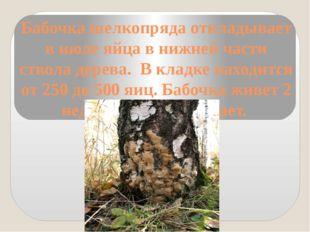 Бабочка шелкопряда откладывает в июле яйца в нижней части ствола дерева. В кл