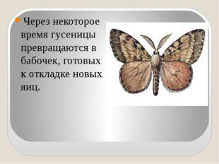Через некоторое время гусеницы превращаются в бабочек, готовых к откладке но