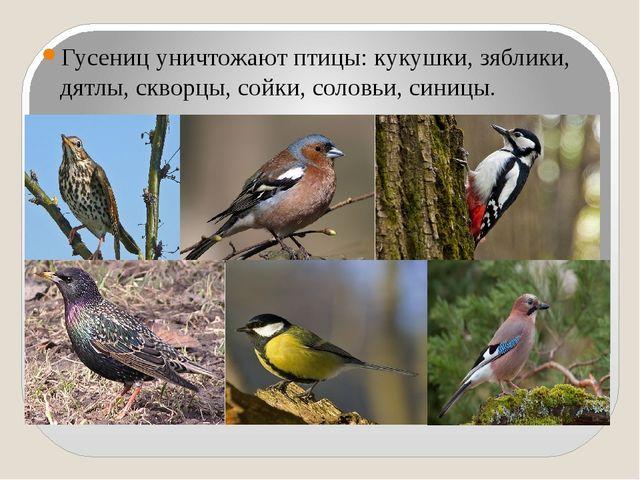 Гусениц уничтожают птицы: кукушки, зяблики, дятлы, скворцы, сойки, соловьи,...