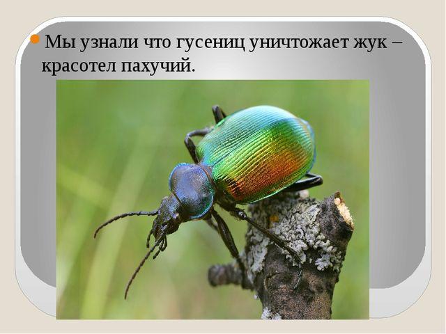 Мы узнали что гусениц уничтожает жук – красотел пахучий.