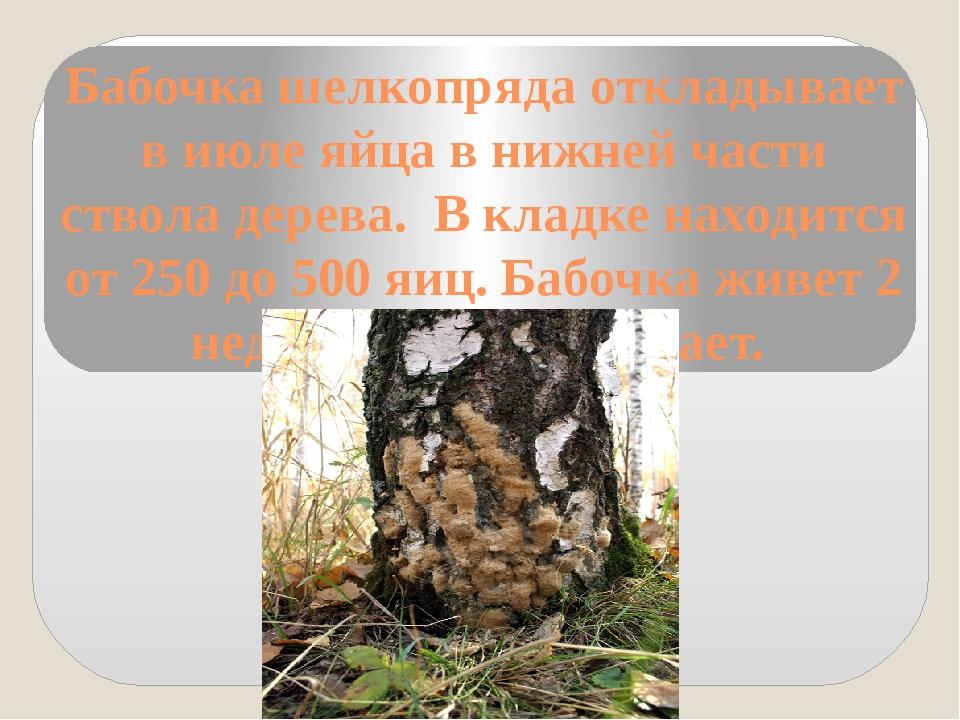 Бабочка шелкопряда откладывает в июле яйца в нижней части ствола дерева. В кл...