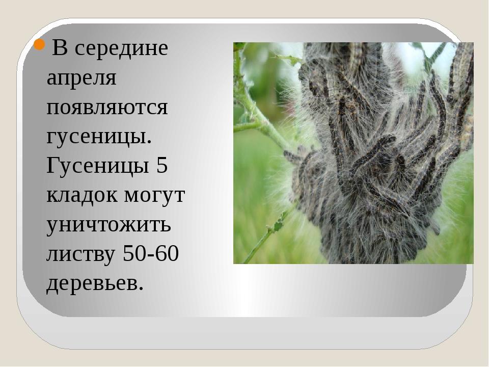 В середине апреля появляются гусеницы. Гусеницы 5 кладок могут уничтожить ли...