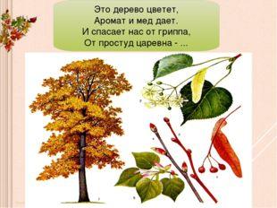 Это дерево цветет, Аромат и мед дает. И спасает нас от гриппа, От простуд цар