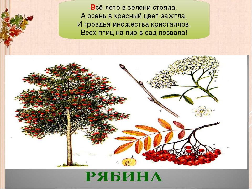 Всё лето в зелени стояла, А осень в красный цвет зажгла, И гроздья множества...