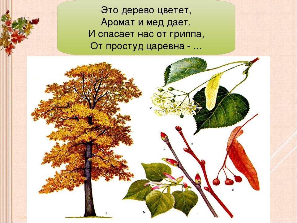 Это дерево цветет, Аромат и мед дает. И спасает нас от гриппа, От простуд цар...