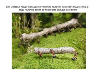 Вот муравьи тащат большую и тяжелую палочку. Они настоящие силачи - ведь пало