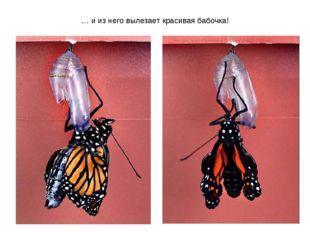 … и из него вылезает красивая бабочка!