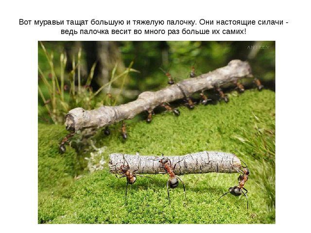 Вот муравьи тащат большую и тяжелую палочку. Они настоящие силачи - ведь пало...
