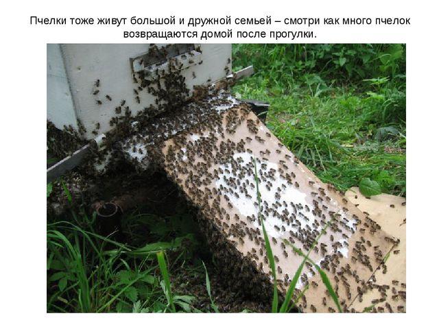 Пчелки тоже живут большой и дружной семьей – смотри как много пчелок возвраща...